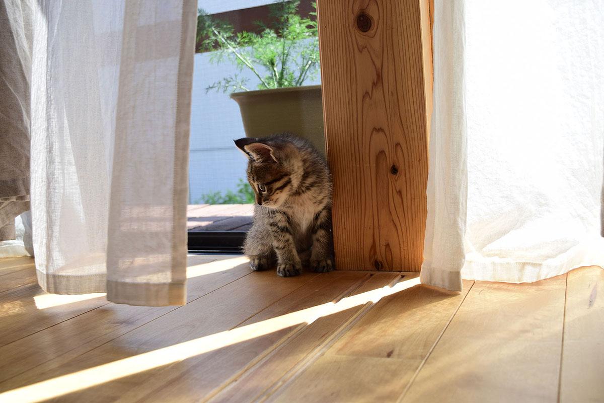 カーテンで遊ぶことを覚えた虎ノ介