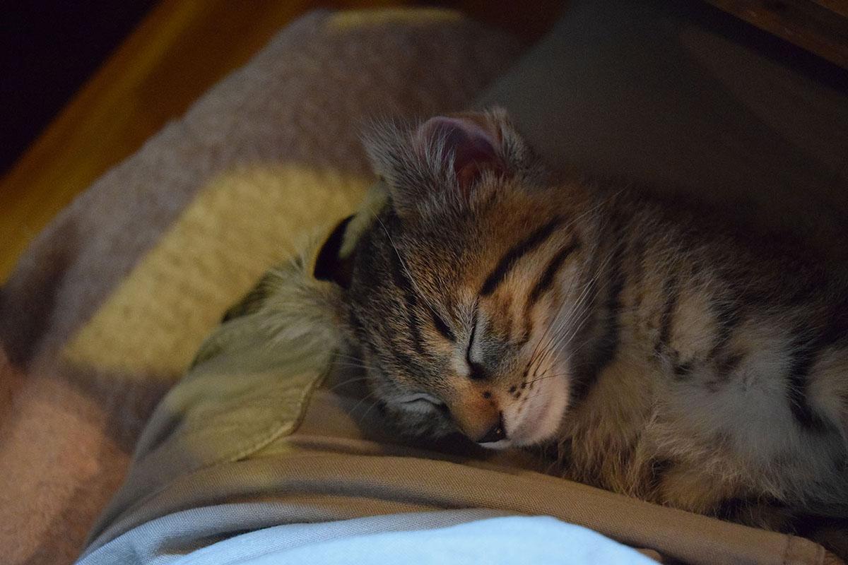 耳が裏返った状態で熟睡する虎ノ介