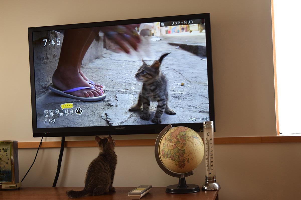 テレビの前でネコ歩きを見る虎ノ介