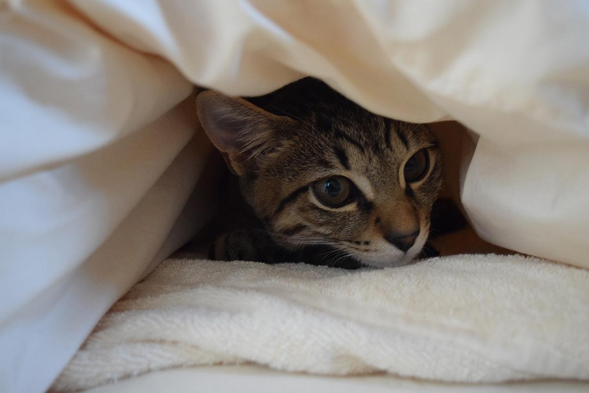 人間のベッドにもぐりこむ虎ノ介