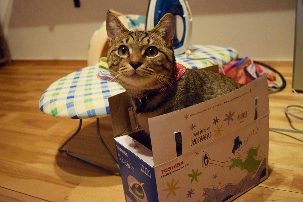 アイロンの箱に入る虎ノ介