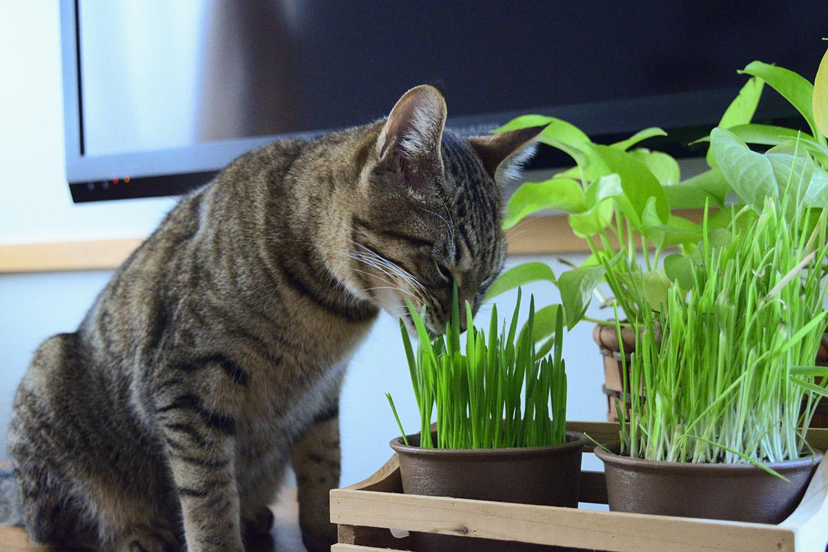 猫草を食べる虎ノ介