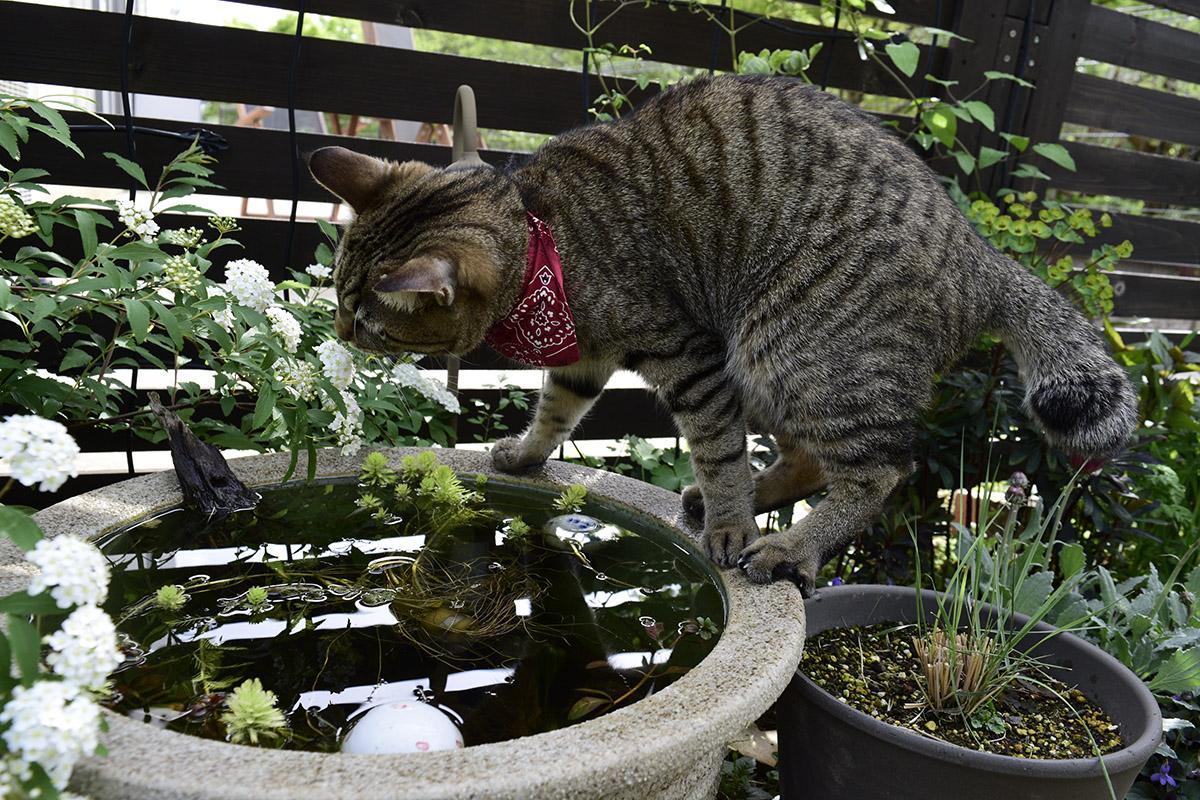 水鉢の縁を歩いてメダカを覗く虎ノ介