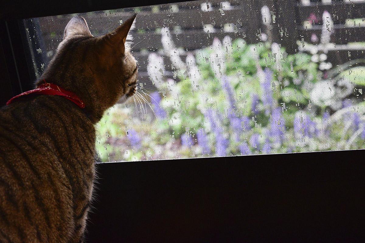外を見つめるキジトラ猫虎ノ介