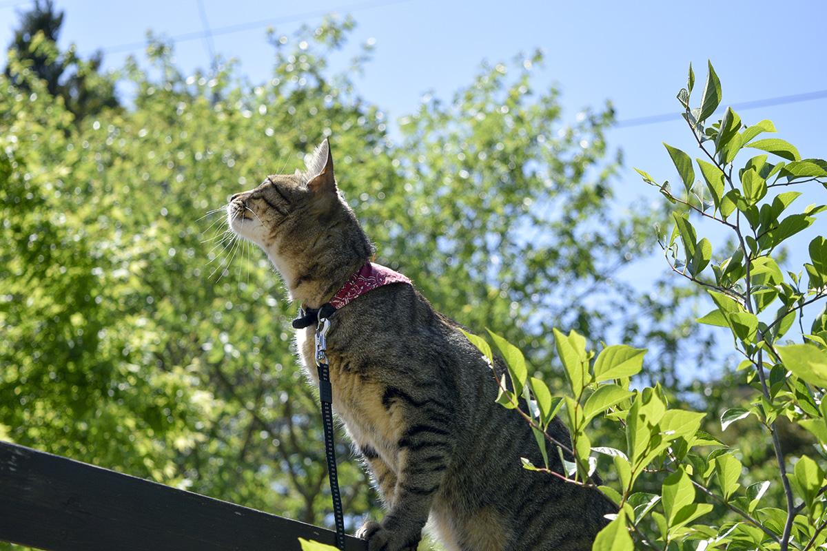 フェンスに上るキジトラ猫の虎ノ介