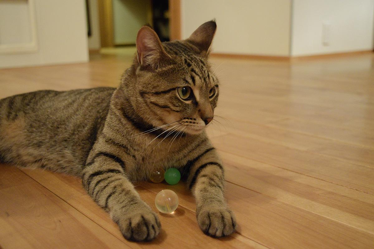 スーパーボールを抱えてご満悦のキジトラ猫の虎ノ介