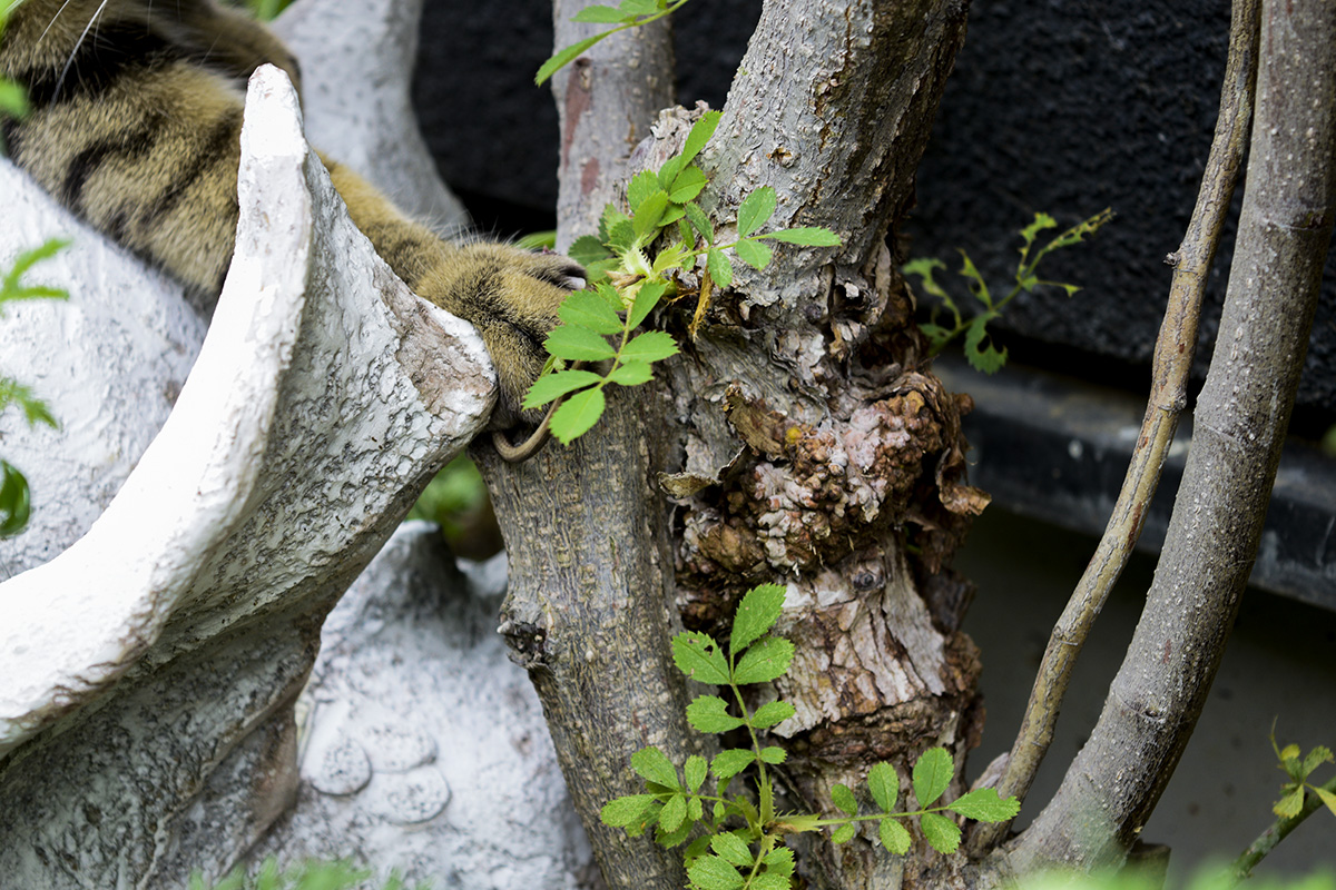 カナヘビを捕まえるキジトラ猫の虎ノ介