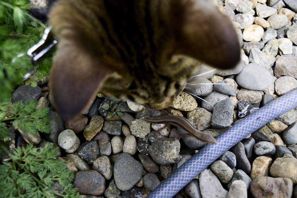 カナヘビに逃げられるキジトラ猫の虎ノ介