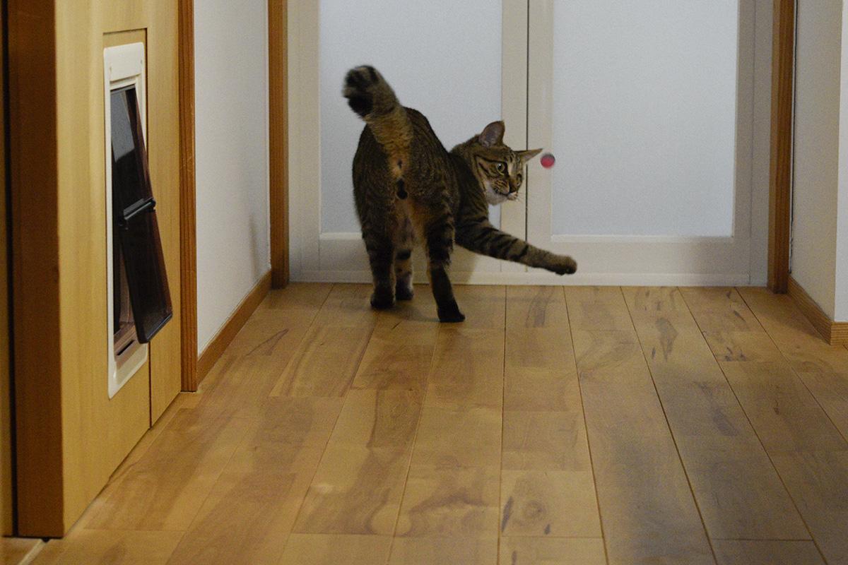 スーパーボールで遊ぶキジトラ猫の虎ノ介