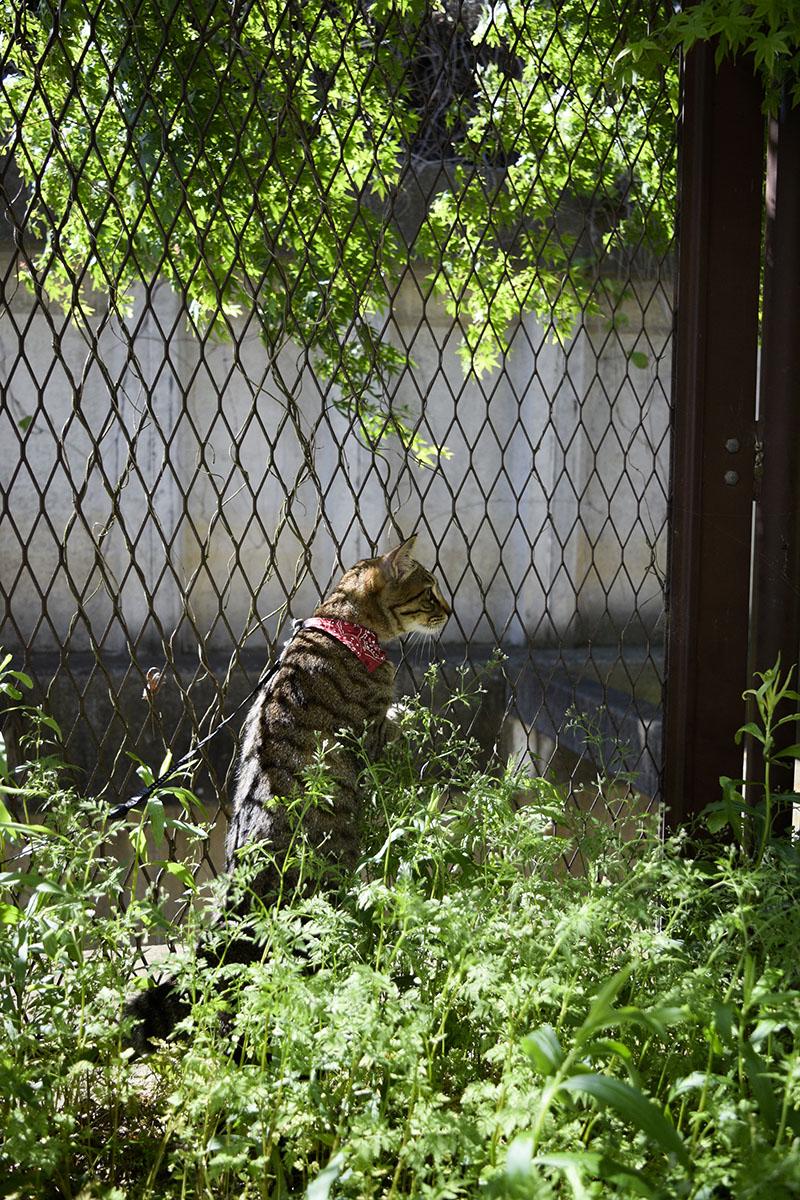 パトロールするキジトラ猫の虎ノ介
