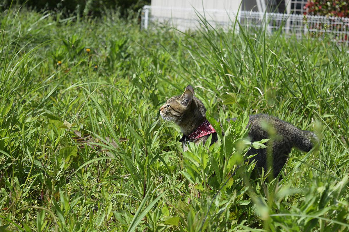 草原を歩くキジトラ猫の虎ノ介