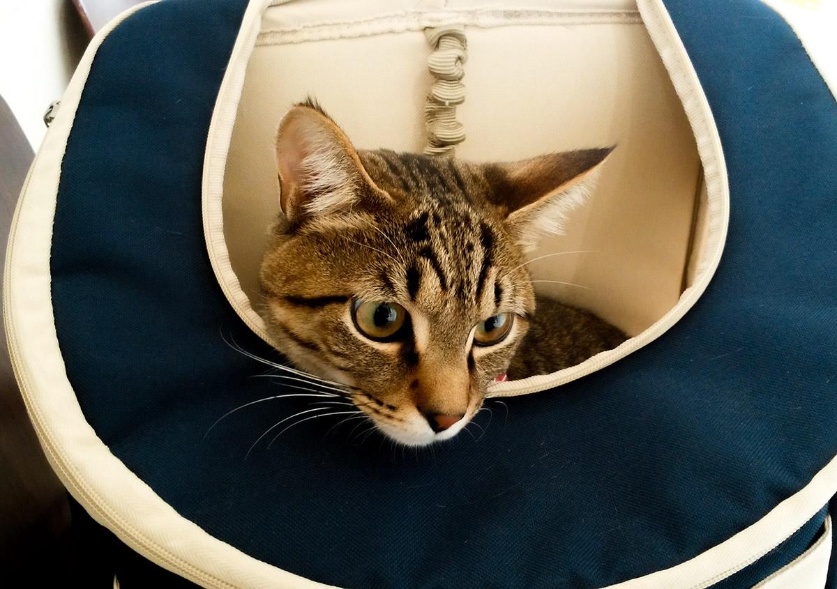 獣医さんの待合室でのキジトラ猫の虎ノ介