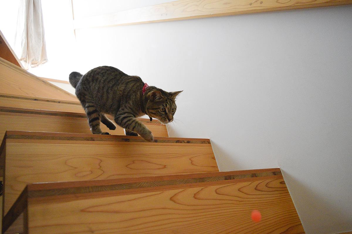 スーパーボールを階段から転がすキジトラ猫の虎ノ介