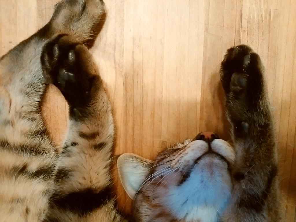寝相が悪いキジトラ猫の虎ノ介