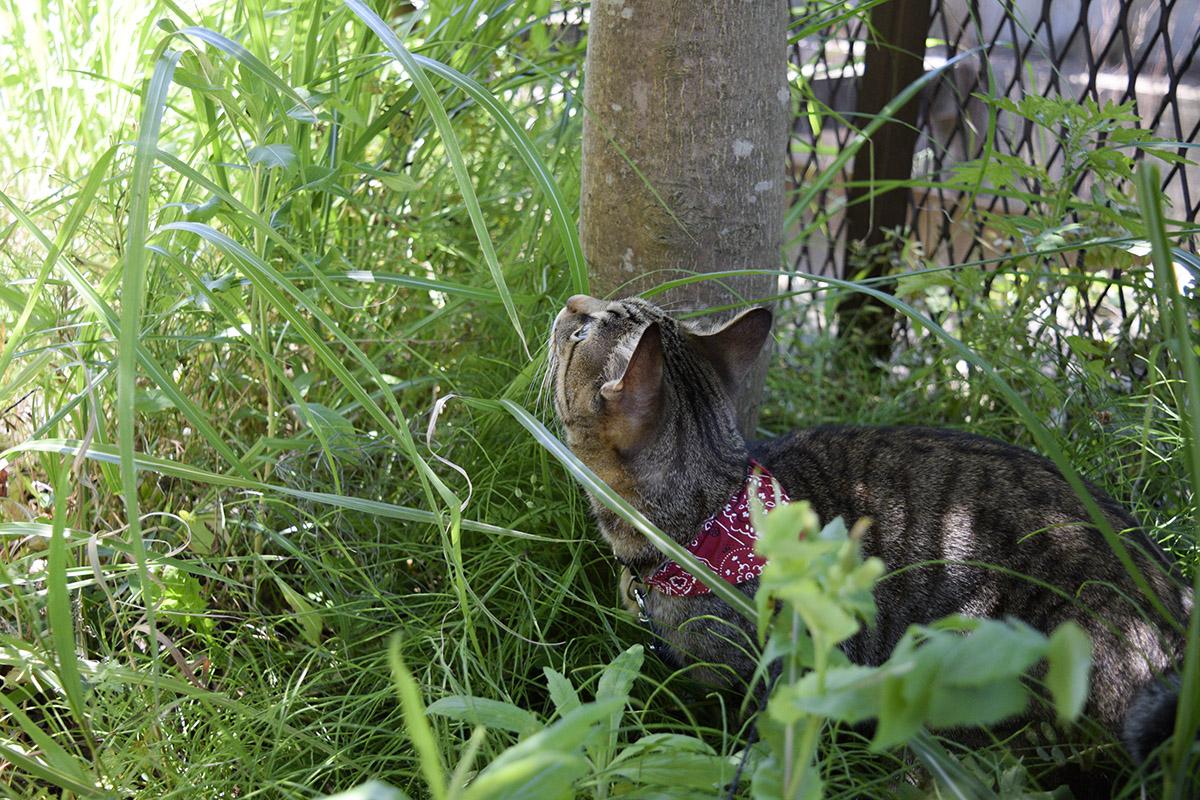 日陰から日向を覗くキジトラ猫の虎ノ介