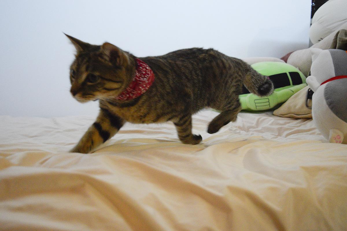 ベッドの上で走るきじとら猫の虎ノ介
