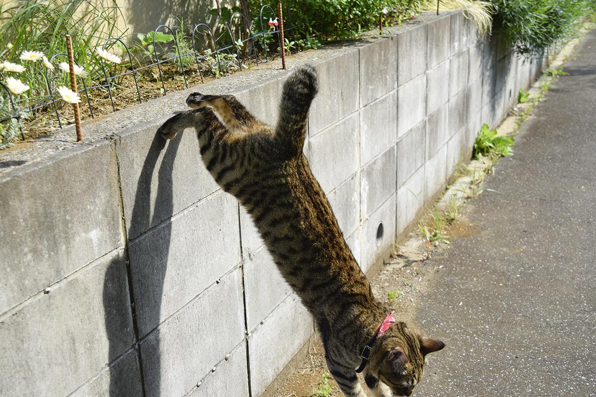 塀から飛び降りるキジトラ猫の虎ノ介