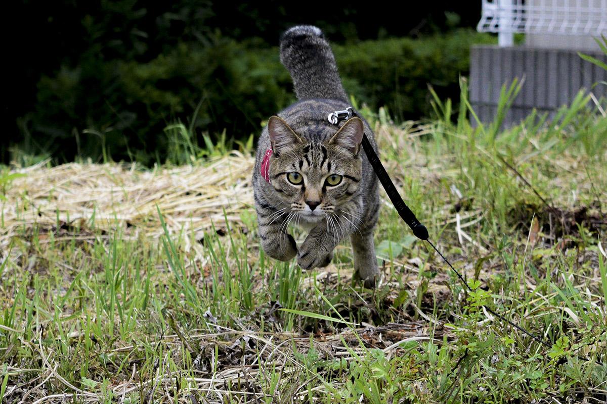草原を走るキジトラ猫の虎ノ介