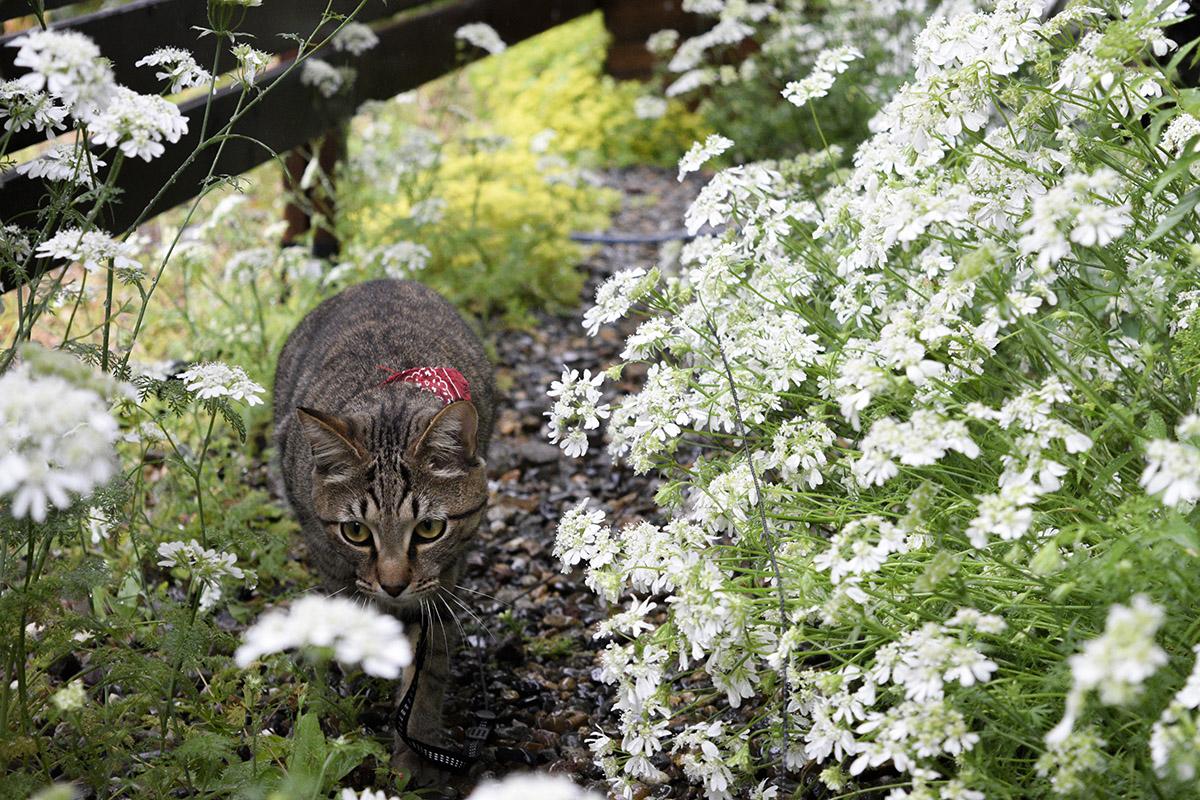 雨の中散歩をするキジトラ猫の虎ノ介