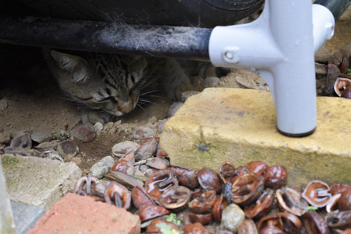 タイヤ置き場の下で雨宿りするキジトラ猫の虎ノ介