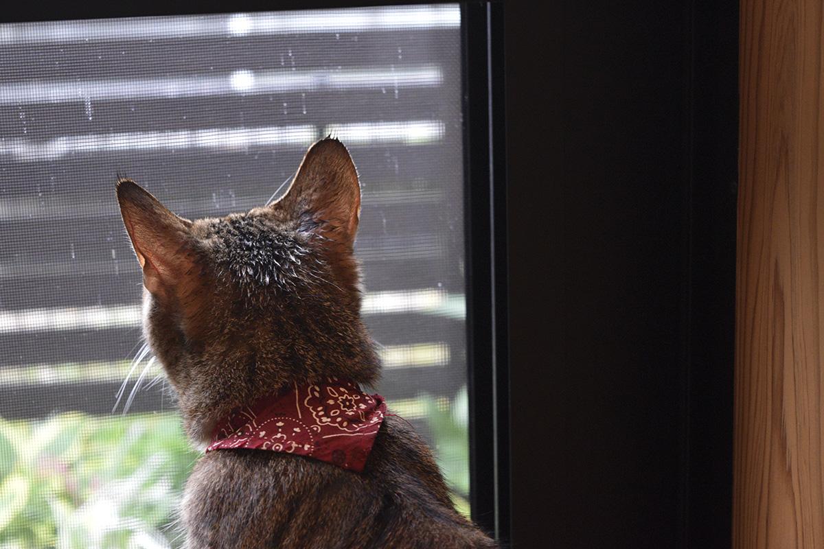 濡れたまま外を見つめるキジトラ猫の虎ノ介