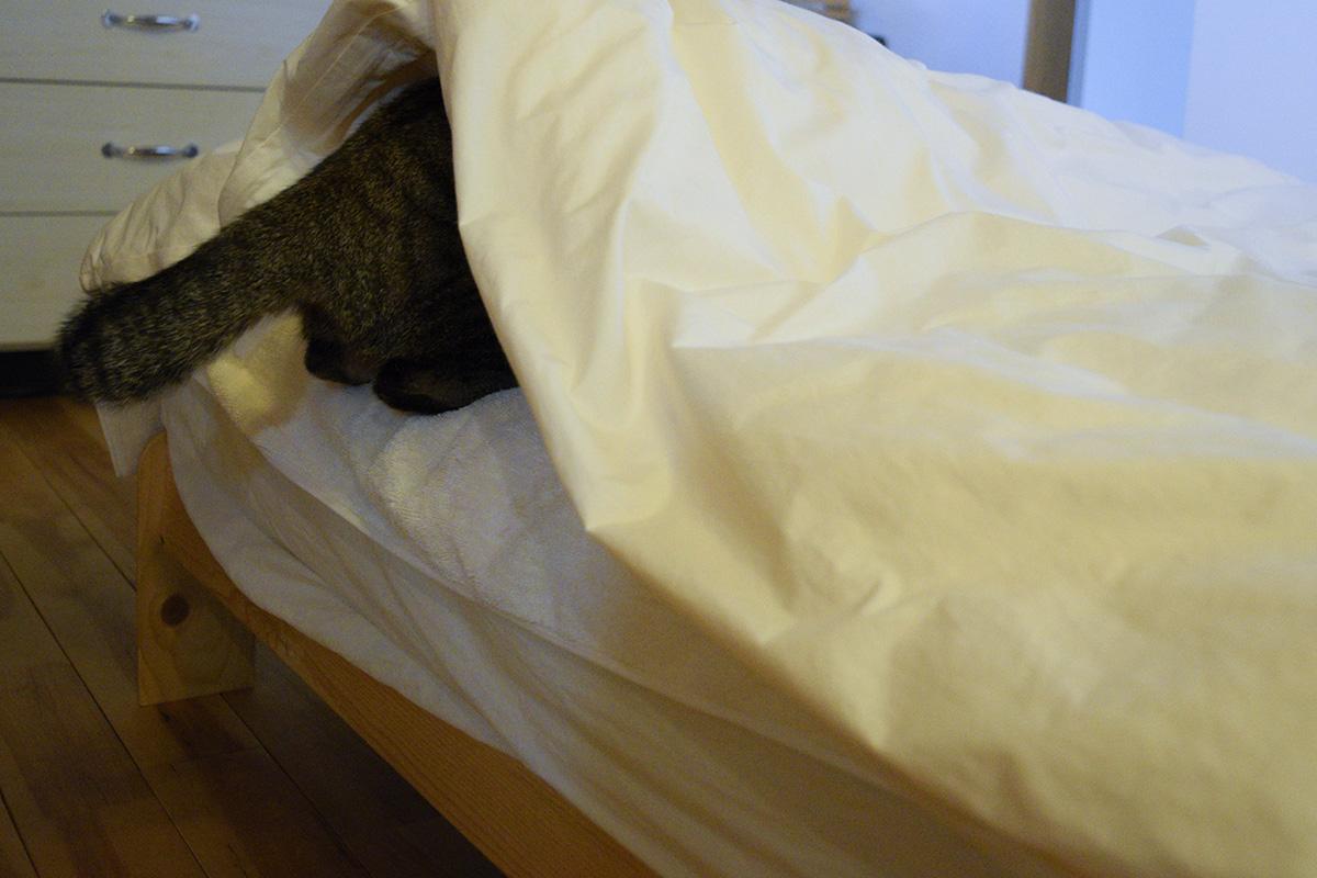 布団の隙間にジャンプするキジトラ猫の虎ノ介