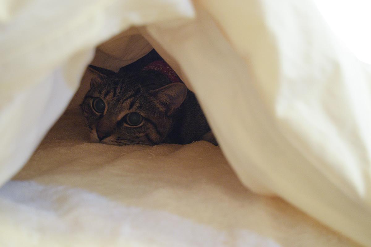 布団の中のキジトラ猫の虎ノ介