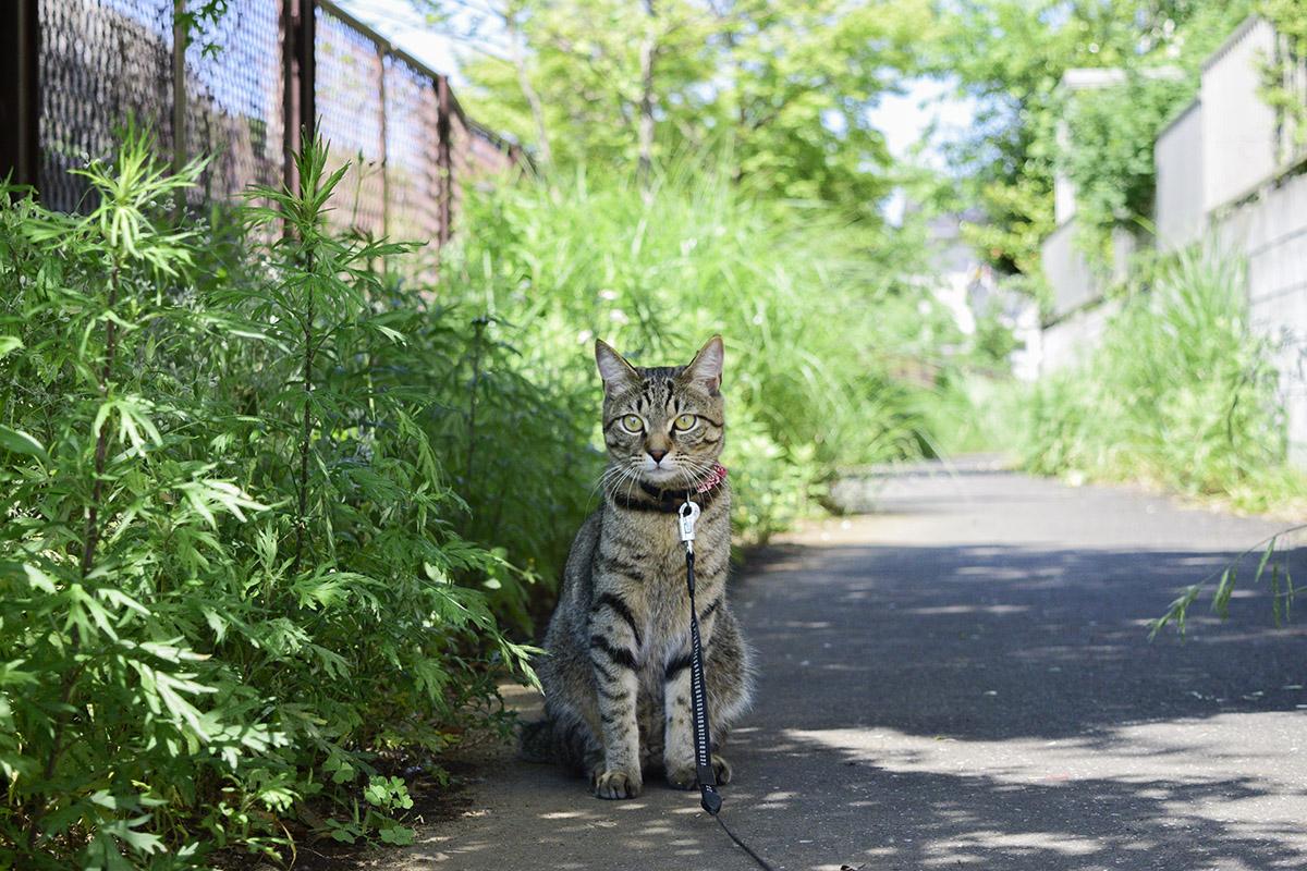 普通に散歩中のキジトラ猫の虎ノ介