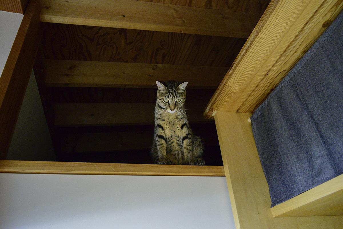 洗面所の扉の上に上ったキジトラ猫の虎ノ介
