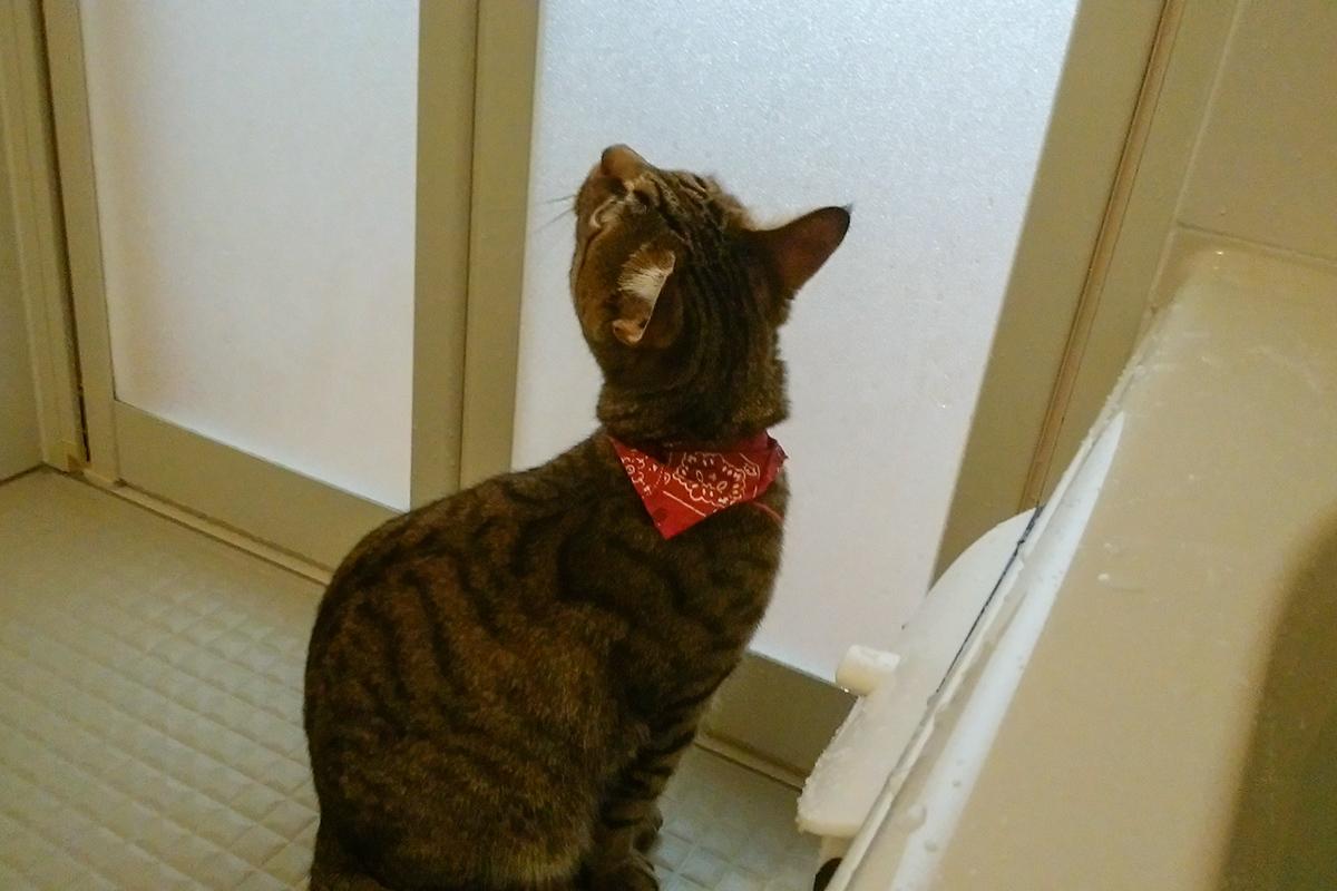 お風呂に閉じ込められるキジトラ猫の虎ノ介