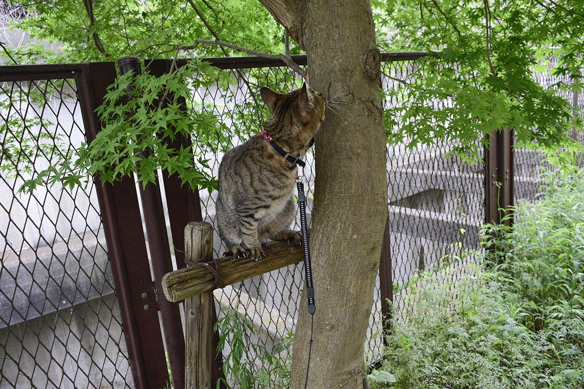 木を見上げるキジトラ猫の虎ノ介