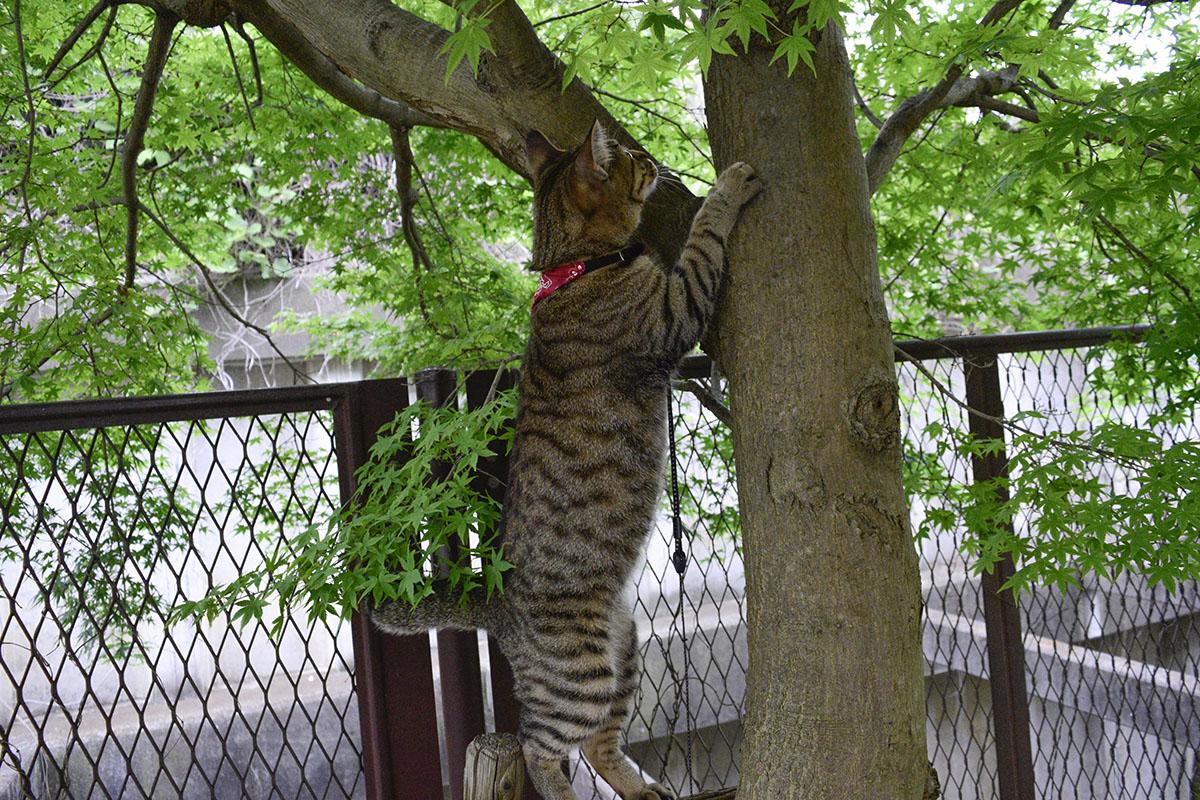 枝につかまってみるキジトラ猫の虎ノ介