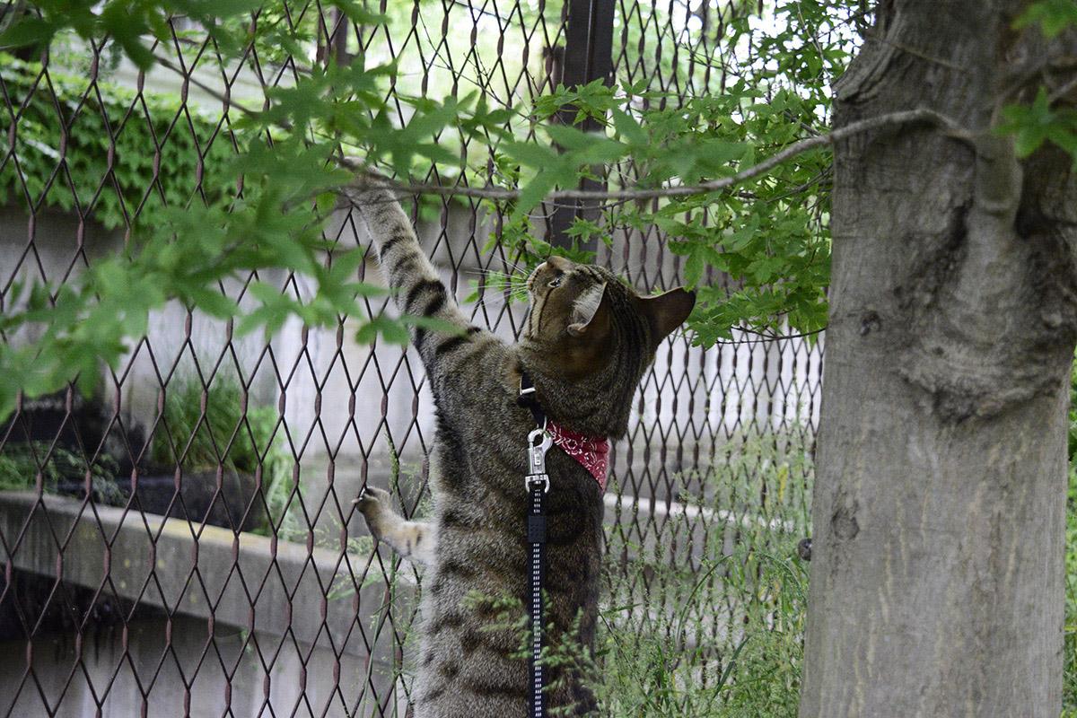 フェンスによじ登ろうとするキジトラ猫の虎ノ介