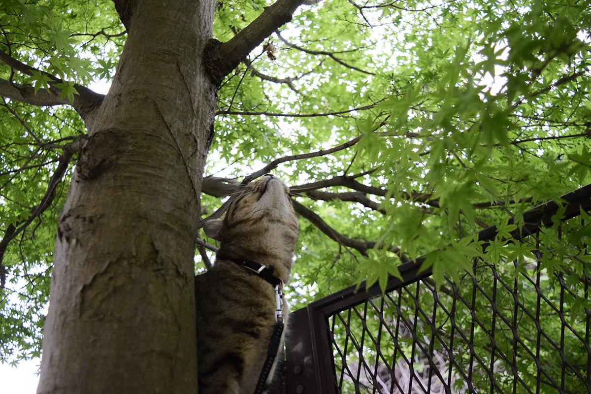 木に登れなくて上を見上げるキジトラ猫の虎ノ介