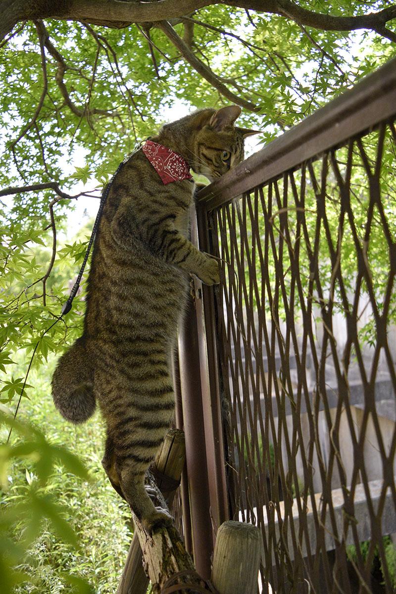 フェンスの上から向こうを覗くキジトラ猫の虎ノ介