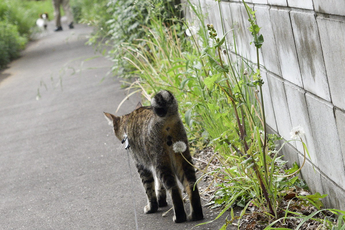 しっぽがたわしになっているキジトラ猫の虎ノ介