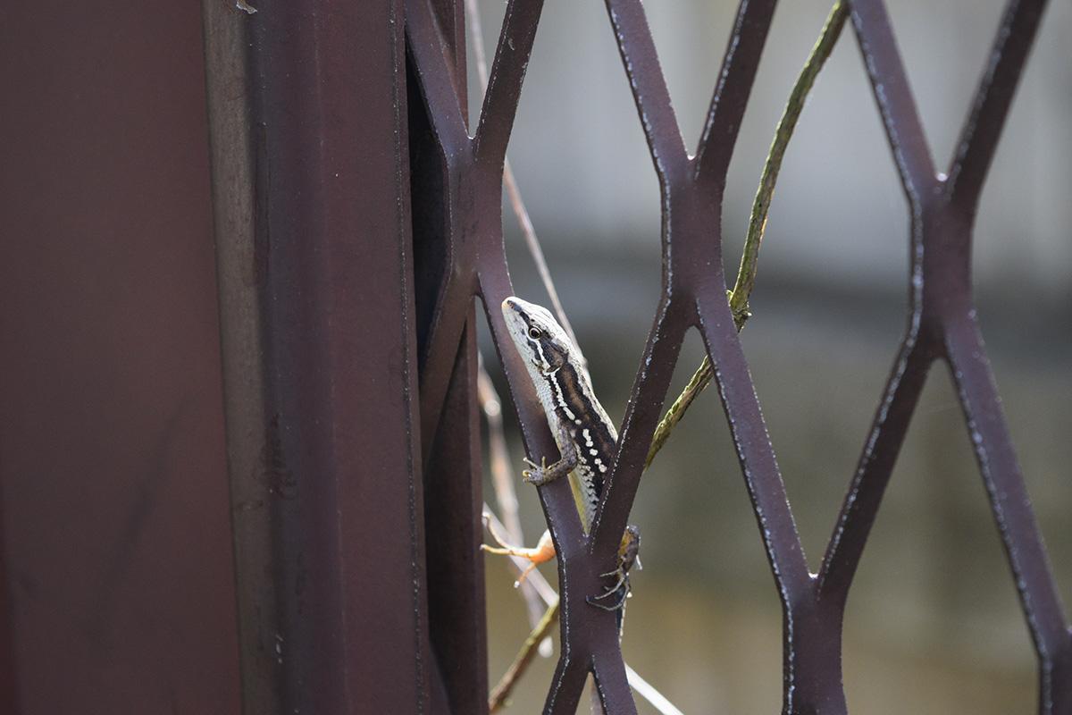 フェンスにいるキジトラ猫の虎ノ介