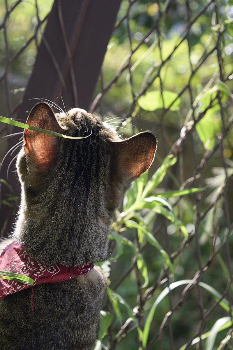フェンス上のカナヘビを見つめるキジトラ猫の虎ノ介