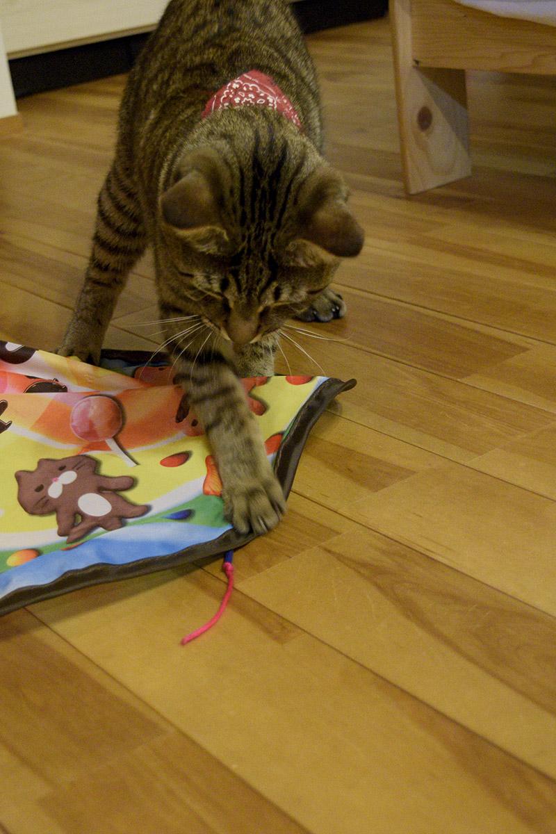 キャッチミーイフユーキャンで遊ぶキジトラ猫の虎ノ介