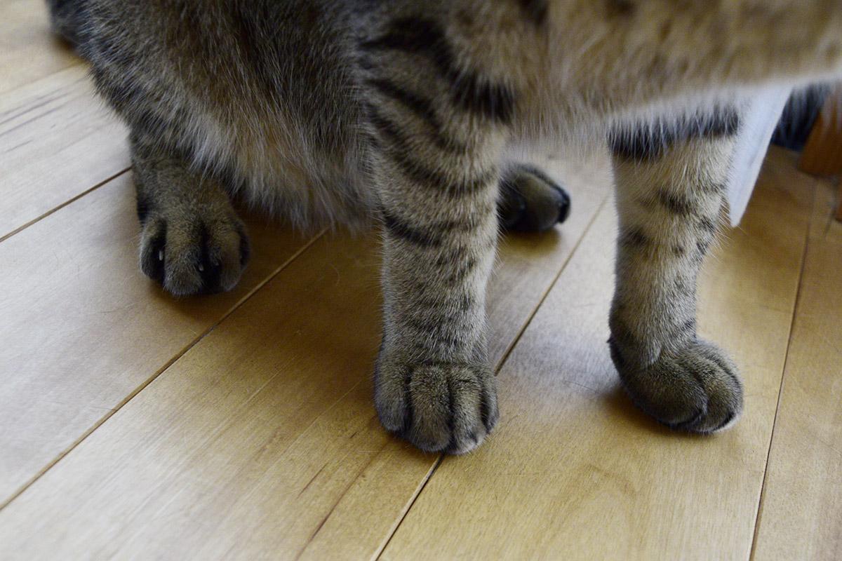 洗った後のキジトラ猫の虎ノ介(手)