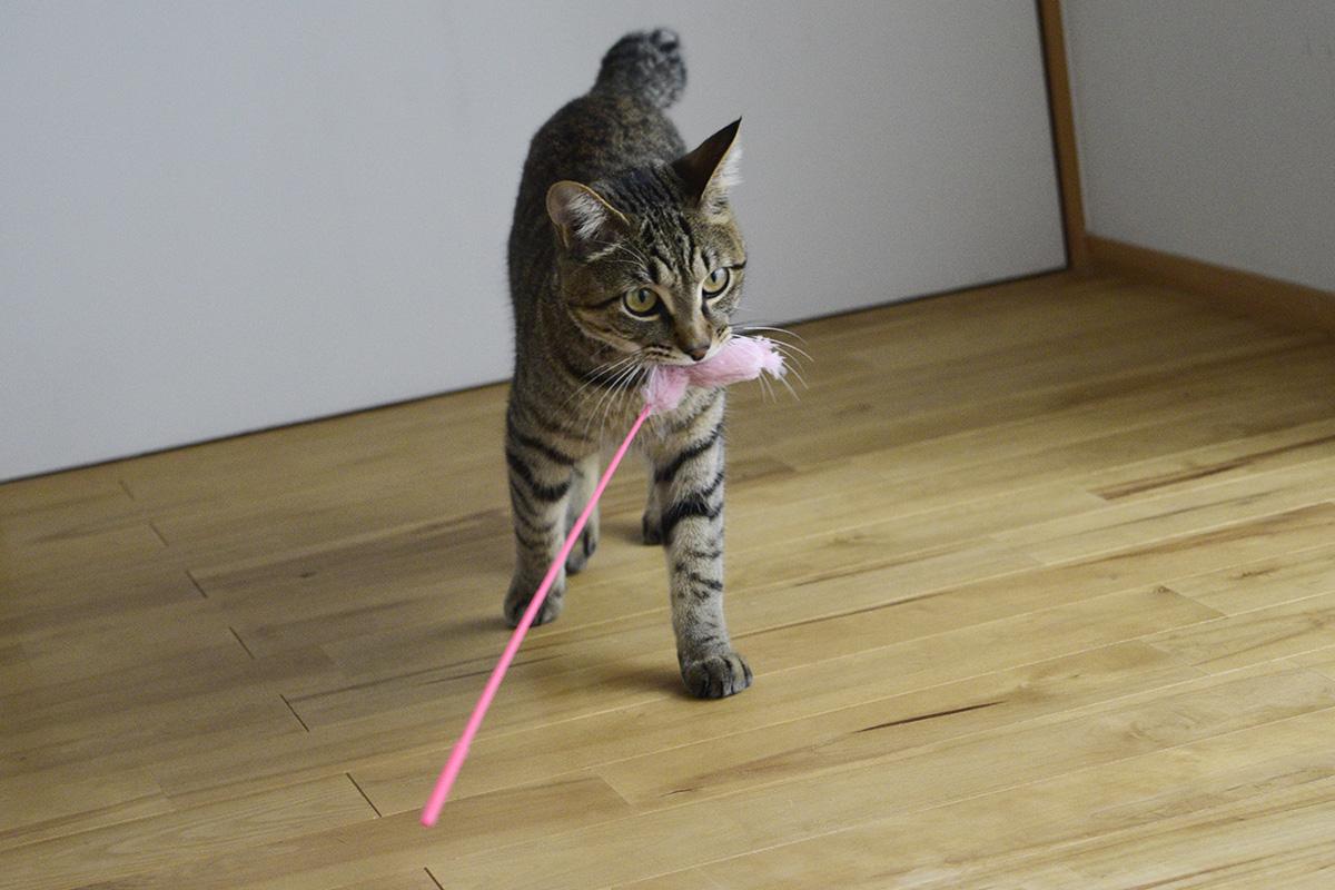猫じゃらしを咥える虎ノ介