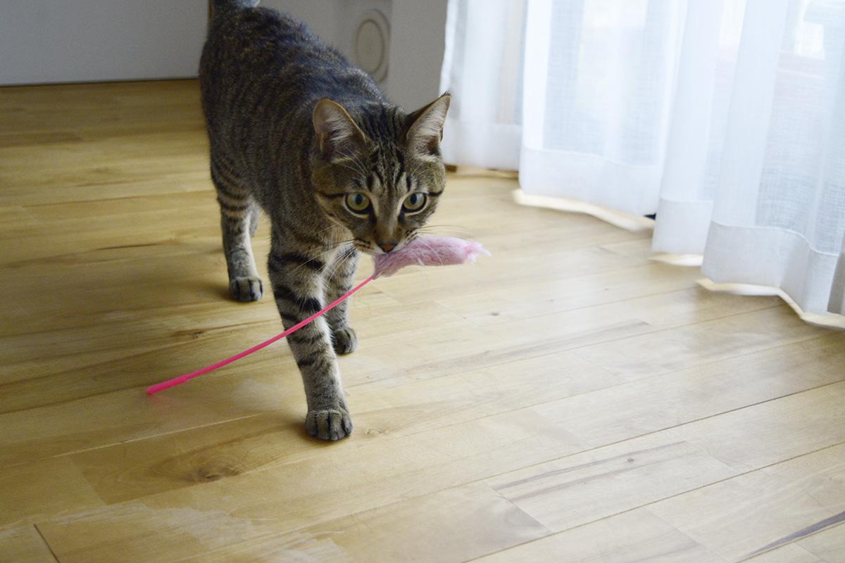 猫じゃらしを咥えたキジトラ猫の虎ノ介