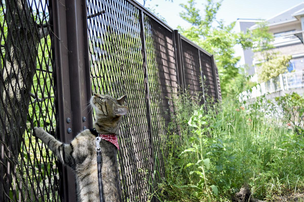 フェンスを越えようとするキジトラ猫の虎ノ介