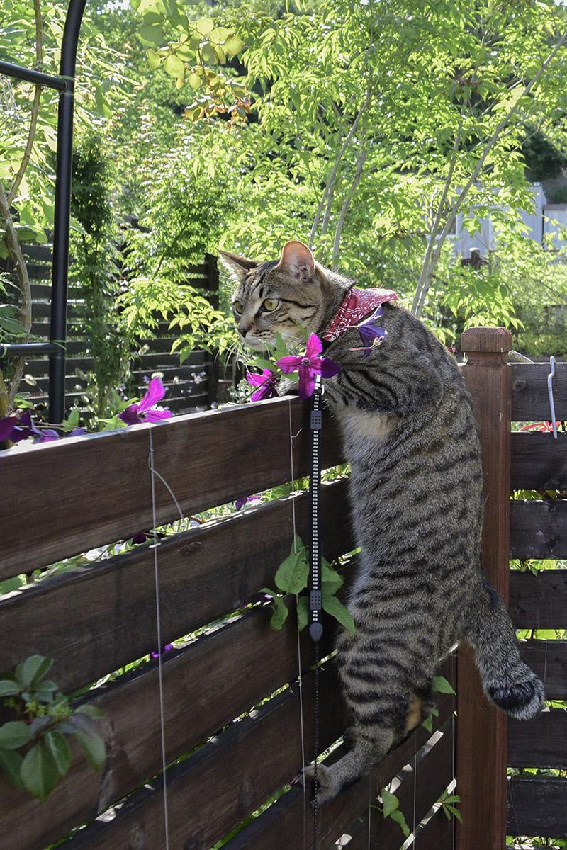 フェンスの向こうを覗くキジトラ猫の虎ノ介