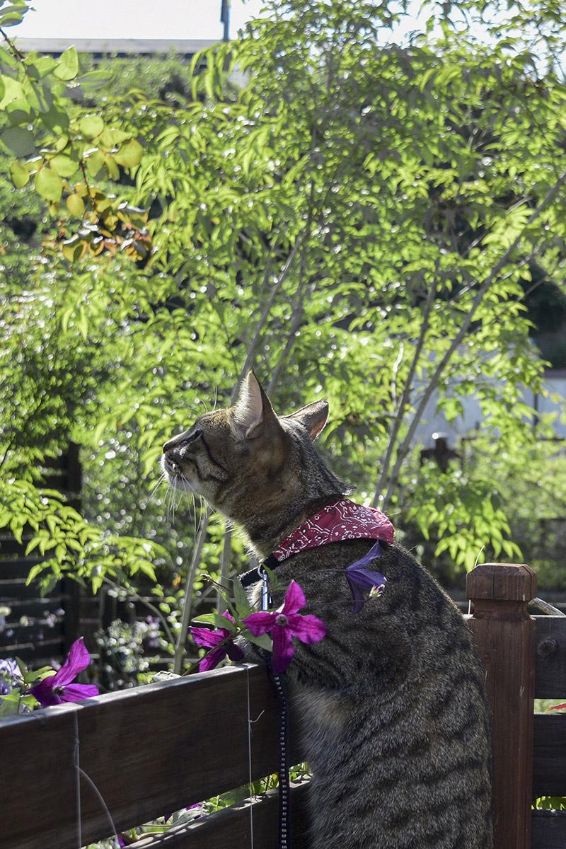 フェンスから見上げるキジトラ猫の虎ノ介
