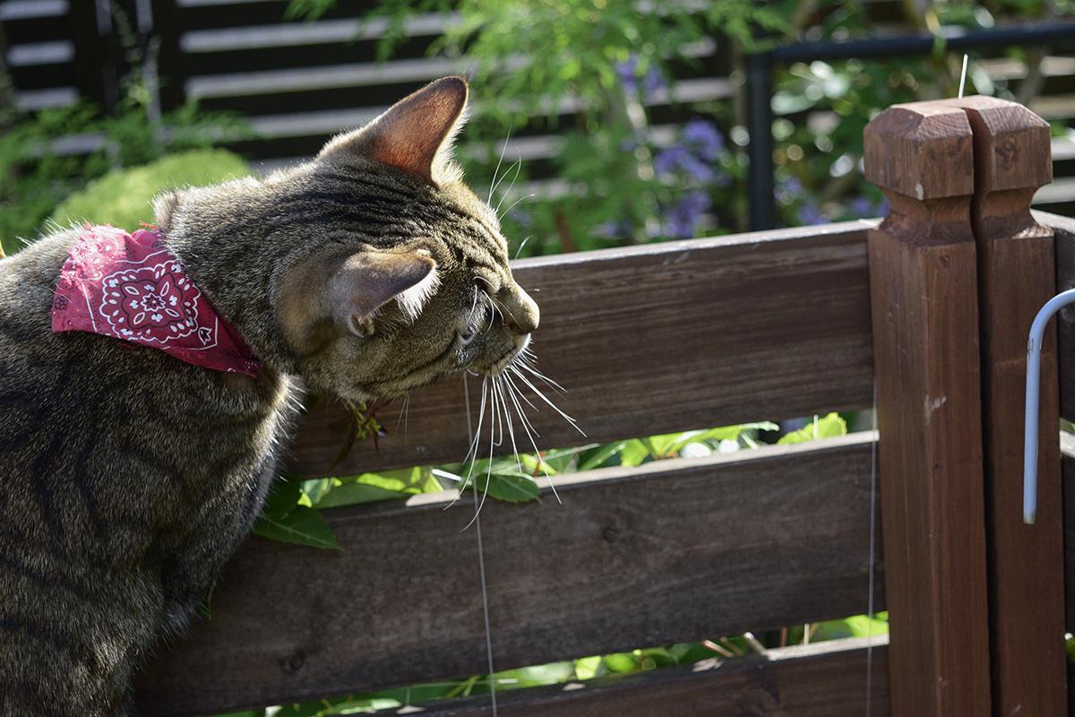 横のフェンスに視線を向けるキジトラ猫の虎ノ介