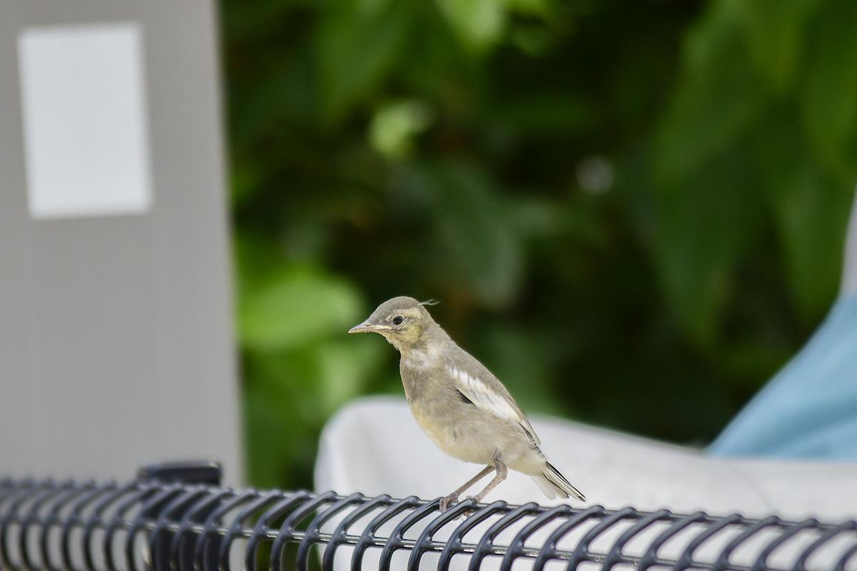 フェンスにとまる鳥