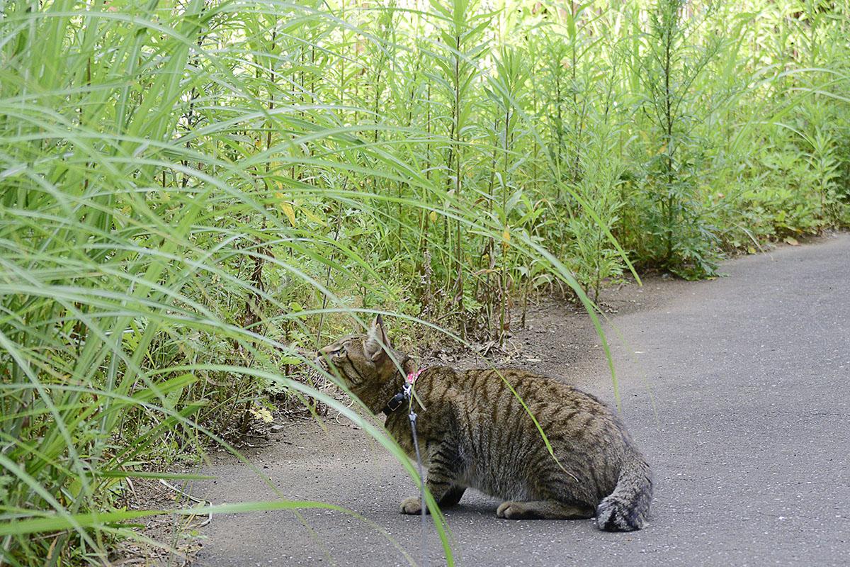 取りを狙うキジトラ猫の虎ノ介