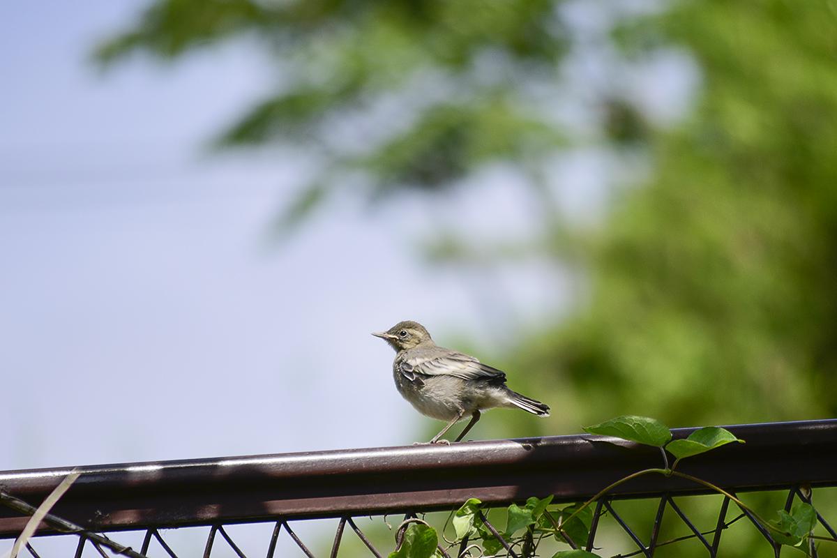 フェンスの上の鳥