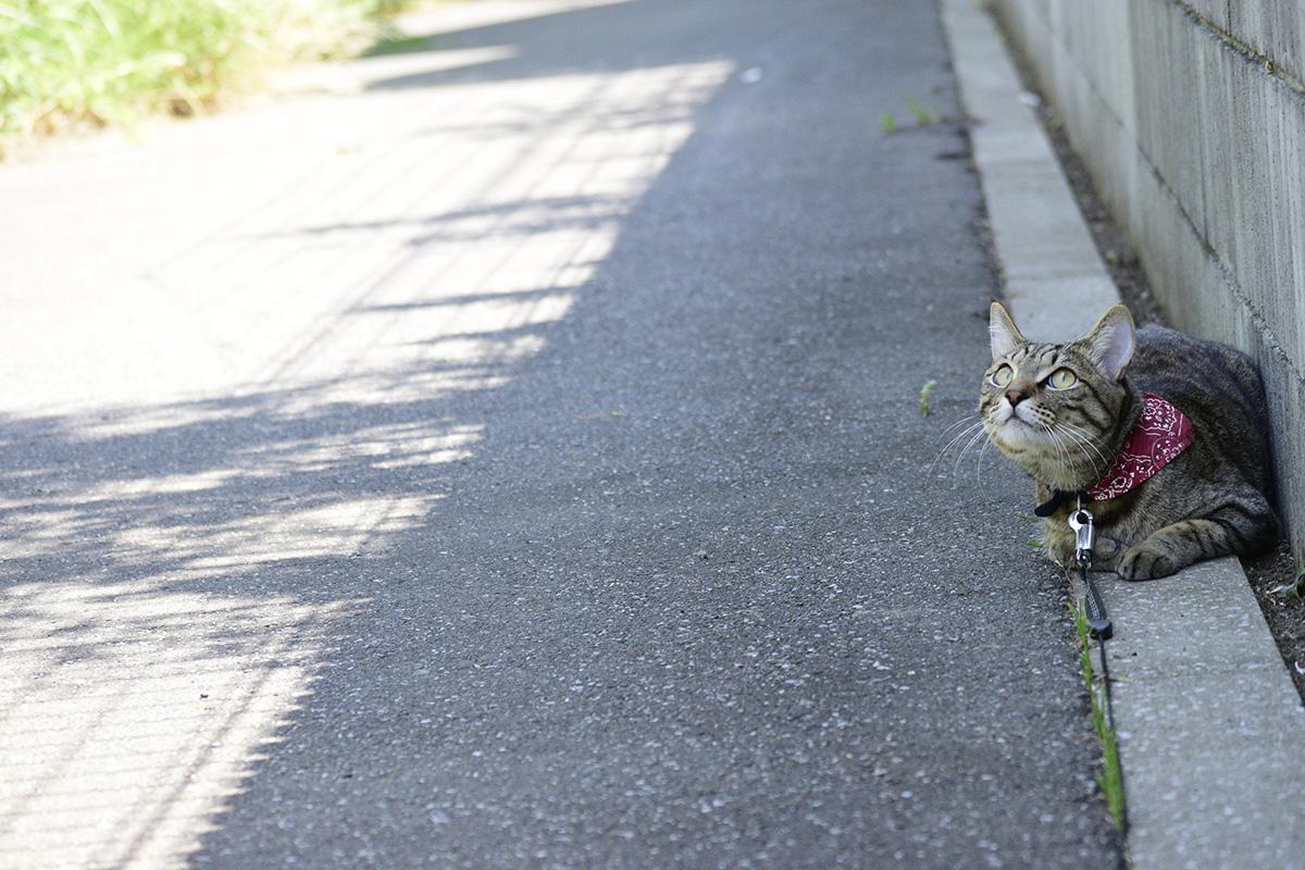 鳥を見上げるキジトラ猫の虎ノ介